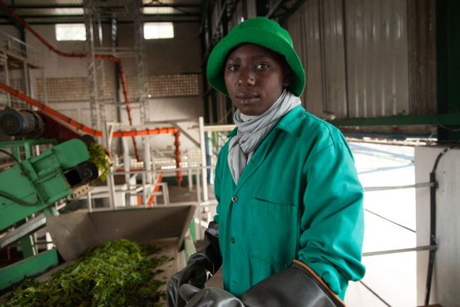 A worker sorts a green leaf tea before it reaches the main processing floor at the Kitabi Tea Processing Facility in Rwanda. Photo: A'Melody Lee / World Bank