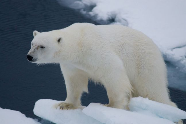 A polar bear in Svalbard, a Norwegian archipelago located between mainland Norway and the North Pole. Photo: UNEP GRID Arendal/Peter Prokosch