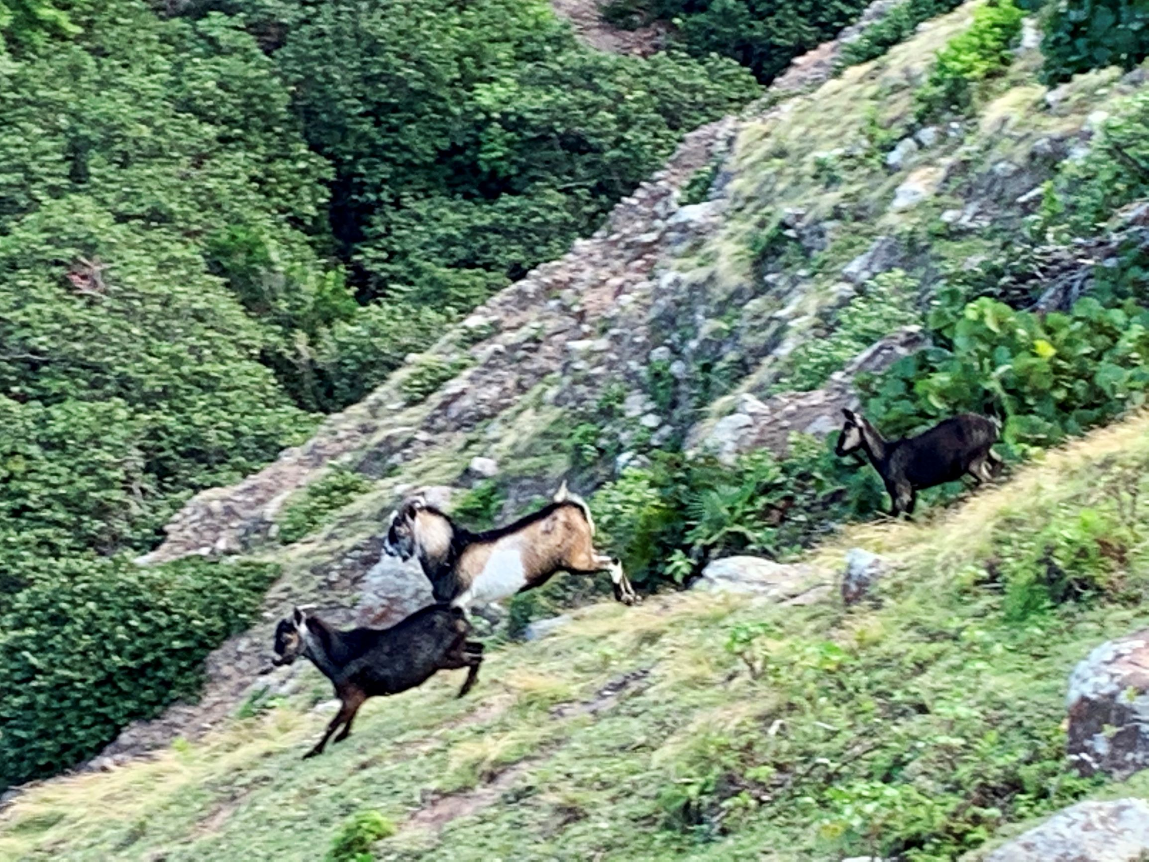 Goats in the National Park