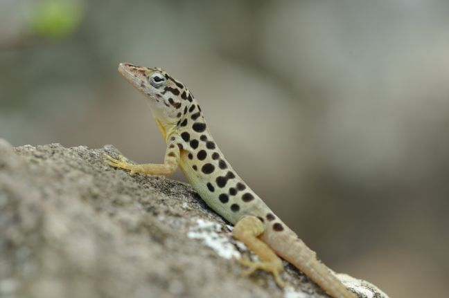 Saba anole (Anolis sabanus), a tree lizard species that is endemic to Saba. The color differences between males and females are unique. This male has black leopard spots and displays an orange-yellow dewlap during courtship, while the female is smaller and usually a drab olive color. Photo credit: Christian König (SHAPE/DCNA)