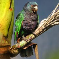 The Sisserou, or Imperial Parrot, is a national symbol found only on Dominica. This bird was photographed in the wild feeding after Hurricane Maria. (Photo by Stephen Durand)