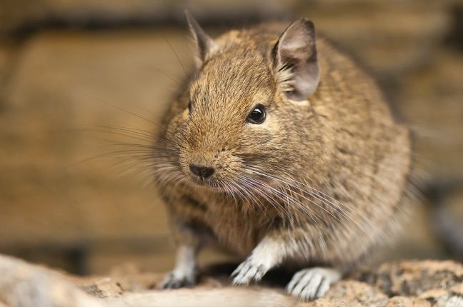The degu is a Chilean rodent. Photo: Wikimedia Commons