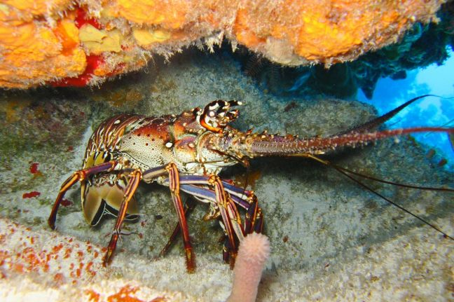 Less than Five months to Apply for a Permit to sell the spiny lobster