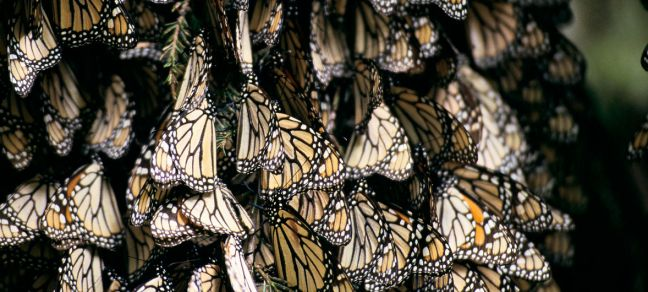 World Bank/Curt Carnemark Each autumn, millions of Monarch butterflies make their 3,000 mile journey from the United States and Canada to winter in several locations, including biosphere reserves, in Mexico.