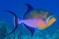 Queen Triggerfish (Balistes vetula). Credit: zsispeo -flickr - all rights reserved