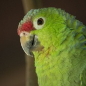 Protected Lora parrots retrieved during boat control operation