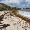 Increased Sargassum Seaweed Collects on Eastern Beaches. Increased Beaching Event of Sargassum is Expected